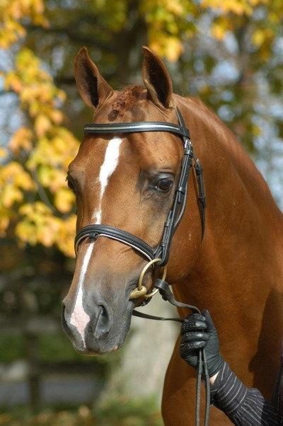 Alada Clairion - Arabian Sport Horse Stallion