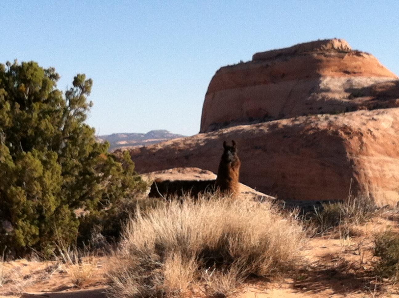 llama in Utah