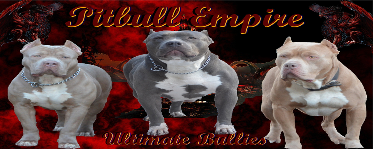 bully pitbull  puppies